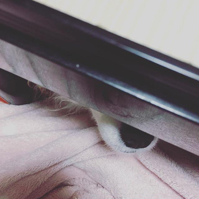 テーブルの下になんかいる! #いぬすたぐらむ #dogstagram #パピヨン #チワワ  #ミックス  #犬  #パピチワ #チワパピ  #スイカ #わんこ #すいか #犬バカ #パピヨンラブ #スムチー  #うちのわんこ #愛犬 #犬バカ #大好きわんこ #chihuahua #Papillon #dog