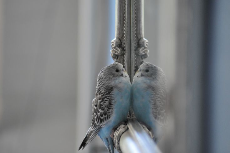 Baby budgie in love with himself in front of the mirror