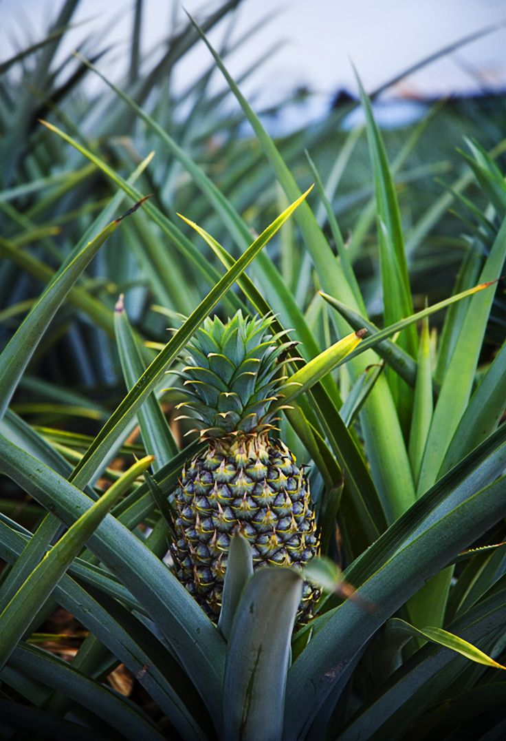 Always wanted to go to a pineapple farm. They are just interesting looking plants.