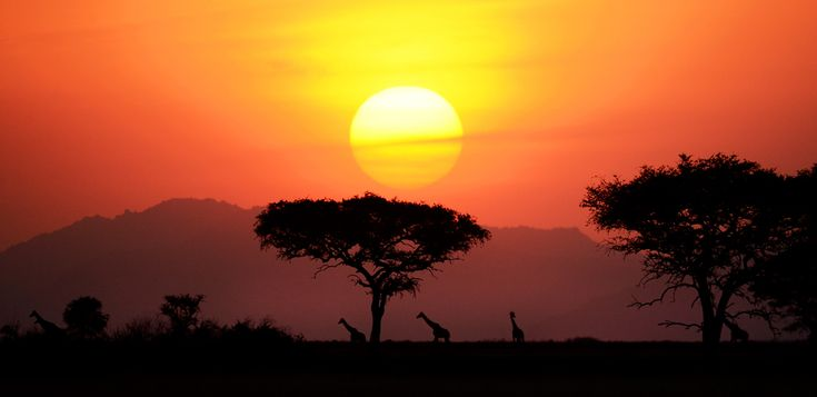 As the day comes to an end at a Serengeti National Park in Tanzania, a herd of giraffes line up as they make their way away from the Savanna...