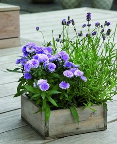 If you love the blue colour range, lavender (Lavandula angustifolia), butterfly lavender (Lavandula stoechas), sage (Salvia nemorosa) and asters (Aster novi-belgii) are great choices.