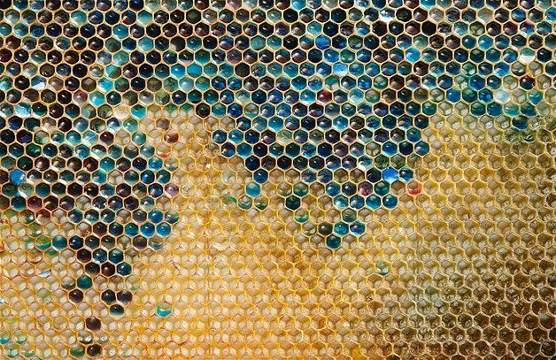 Oct. 6, 2012: Beekeepers in northeastern France were alarmed when their bees starting producing honey in shades of blue & green. The keepers now believe residue from a nearby MandM factory is to blame for the odd honey. (© Vincent Kessler/Reuters)