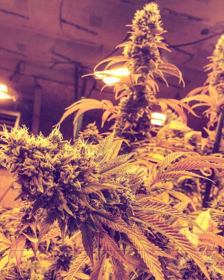 #Marijuana.