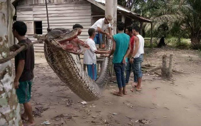Cobra colossal vira jantar após tentativa de devorar um homem