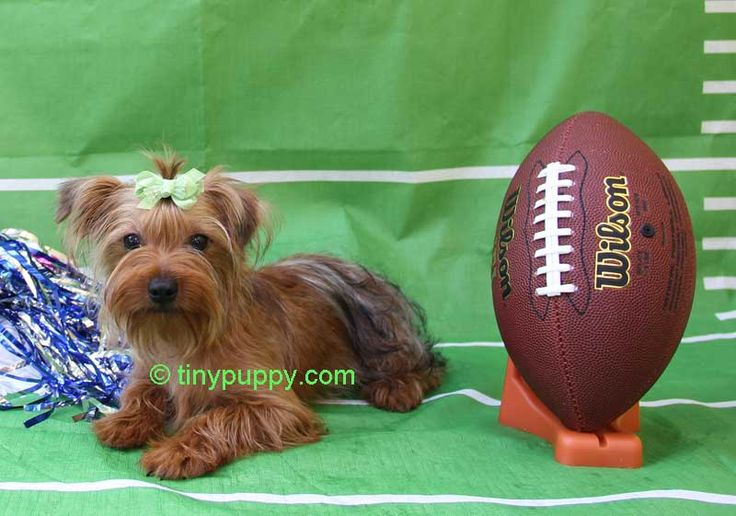 Chocolate Yorkie, Golden Sable Yorkie, Toy Yorkshire Terrier