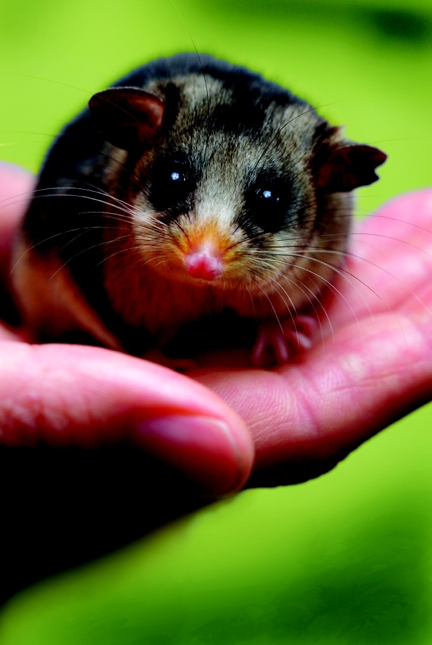Adopt an endangered Mountain Pygmy Possum from Zoos Victoria. Visit: www.zoo.org.au/adopt