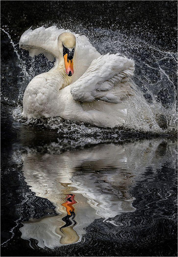 Swans: #Swan.
