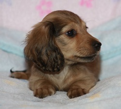 long haired classic daschund