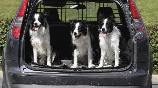 Fest installierte Absperrgitter verhindern, dass die Hunde in den Passagierraum gelangen. (Quelle: imago/blickwinkel)