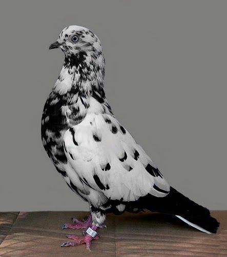 Parlor Tumbler Pigeon  Latvian ................ Viesistaba Tumbler Pigeon Lithuanian ............ Kirpykla kūlvartas Macedonian .......... С...