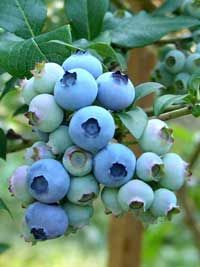 How to prune blueberries (some have a tendency to overproduce, which can lead to biennial fruiting. Pruning helps keep consistent production)