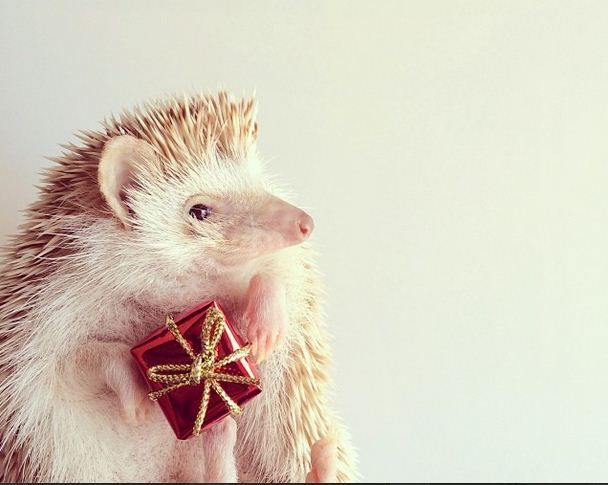 Best Hedgehogs Images On Pinterest Baby Hedgehogs Baby - Darcy cutest hedgehog ever