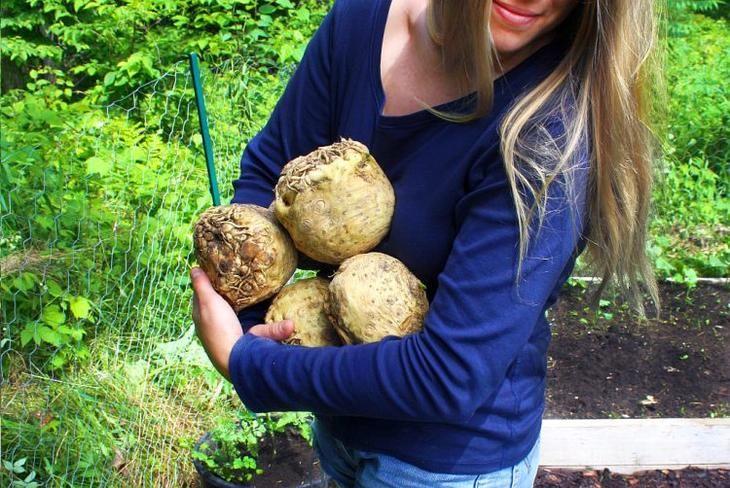 Выращивание корневого сельдерея