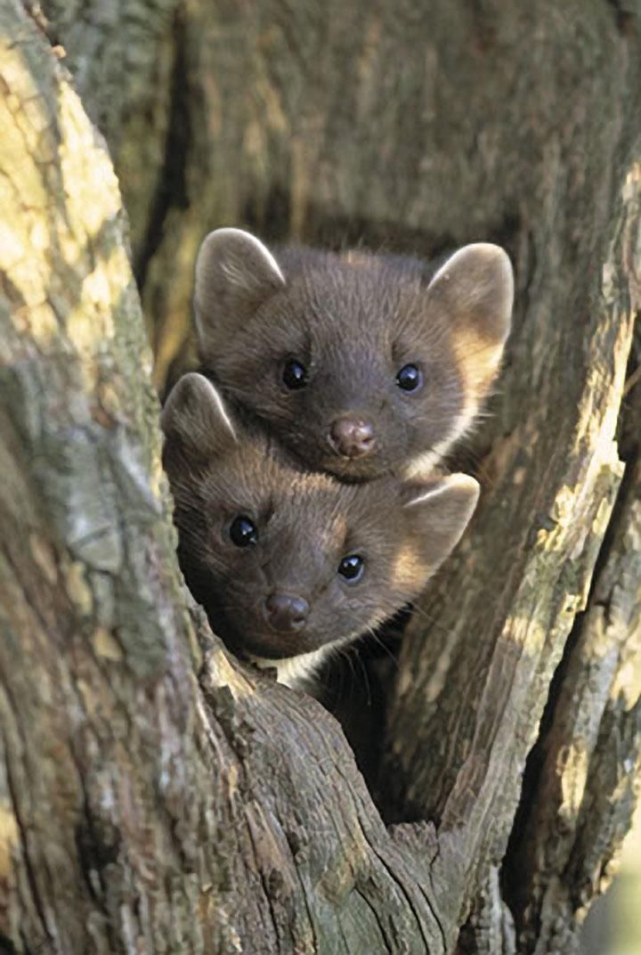 Pine Martins (related to weasels & ferrets). | Ferrets ...