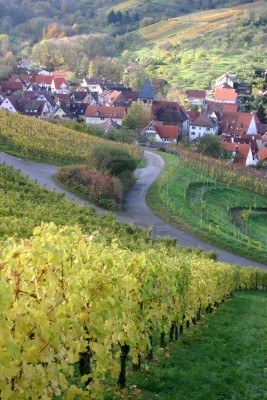 Autumn Scene Of German Vineyard