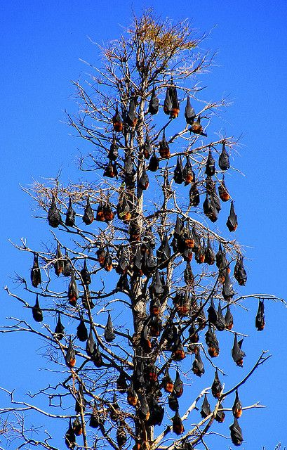 Batstree - Flying foxes in in Sydney Central, Sydney, NSW, Australia | Photo by Pierre Pouliquin | CC BY-NC 2.0 http://creativecommons.org/licenses/by-nc/2.0/deed.de