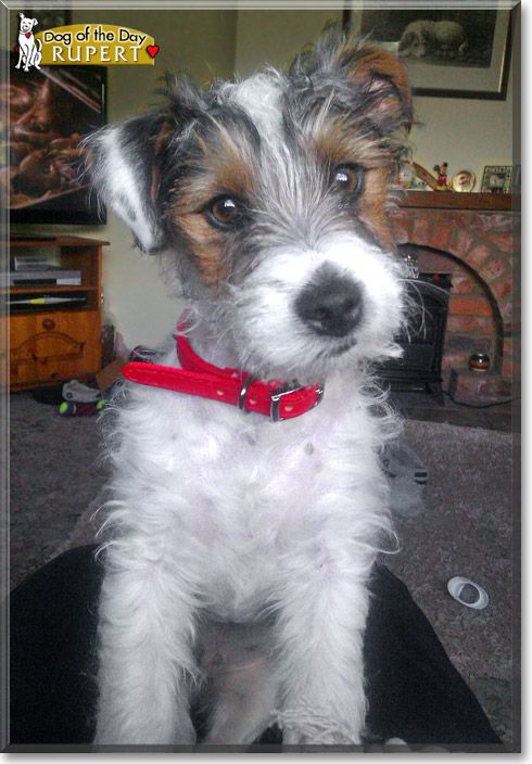 Cute, scruffy, mischievous Jack Russell Terrier. Too cute.  Rough coats, my personal favorites.