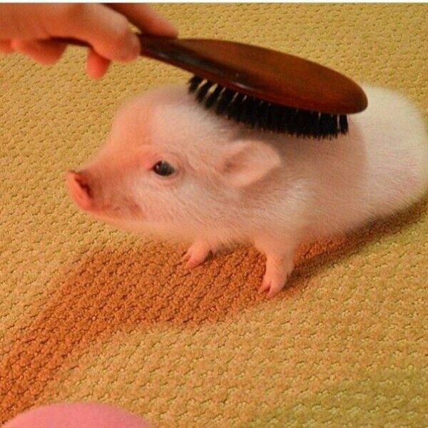 I would comb the piggie hair everyday. Would you?http://perthhomecleaners.com.au/carpet-cleaning0420 270 260