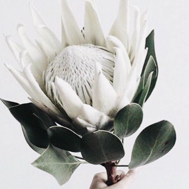 White King Protea For A Modern Touch Spiral And Swirls