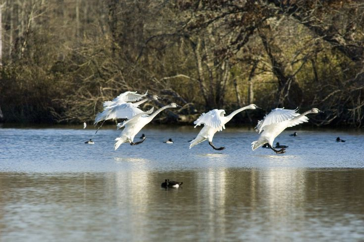 The new year arrived to the sound of trumpets. The Trumpeter Swans have returned to Heber Springs until February!