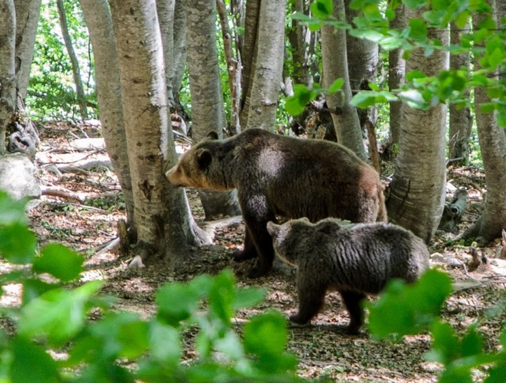ARCTUROS Environmental Center only hosts bears and wolfs who cannot live free in nature. Most of them were taken from captivity and zoos.