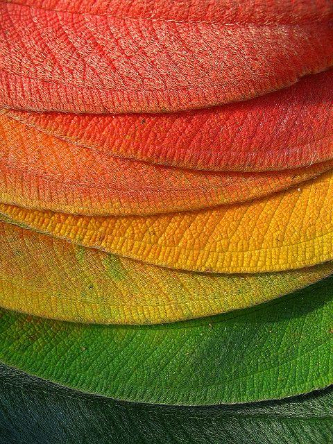 graduated colour, tibouchina leaves