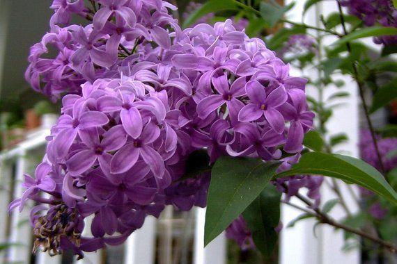 25 French Old Fashioned Lilac Syringa Vulgaris Flower Shrub Bush Seeds Lilac Bushes Syringa Vulgaris Planting Shrubs