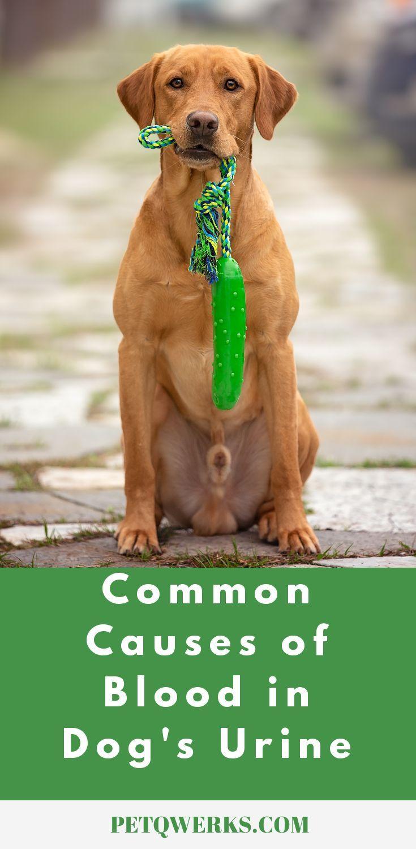 Common Causes Of Blood In Dog Urine Dog Urine Dogs Dog Uti