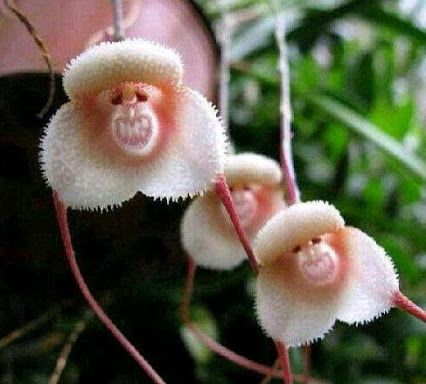 Monkey Orchid - I want one of these so bad. They are just to cute (and funny)