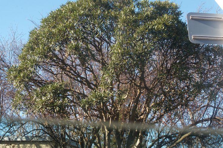 Image result for Lancewood Ocotea coriacea