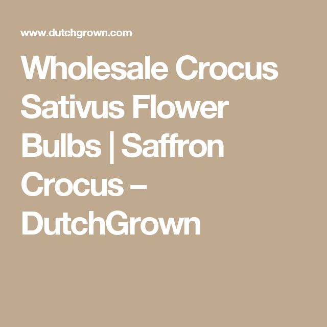 Wholesale Crocus Sativus Flower Bulbs | Saffron Crocus – DutchGrown