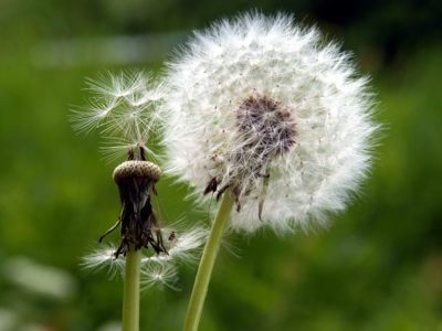 Dandelion Seed Growing: How To Grow Dandelion Seeds Did you know that the leaves, flowers and roots of dandelion are edible or that the dandelion has purported medicinal properties? Bees and other pollinators also rely on them. So, what are you waiting for? Find out how to grow dandelion seeds here.