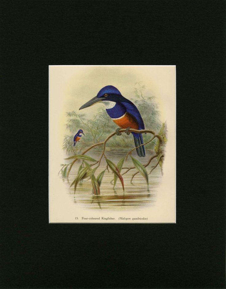 18 Best Matted John Gould Birds Images On Pinterest Bird