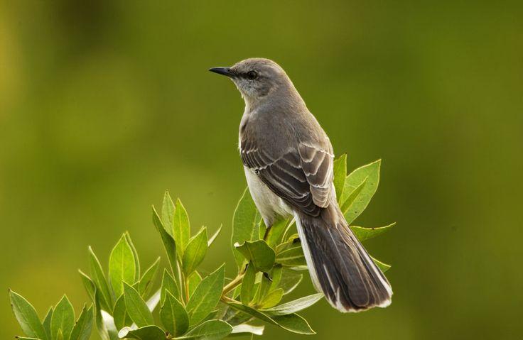2. El sinsonte: a mockingbird