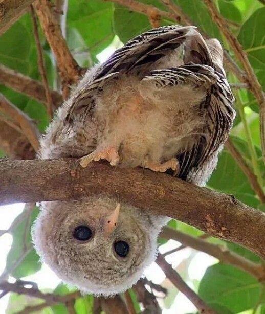 Hi... baby owl