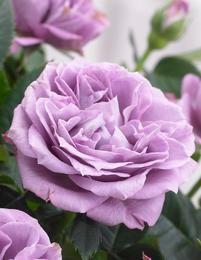 Viherpeukalot-ruusu 2016