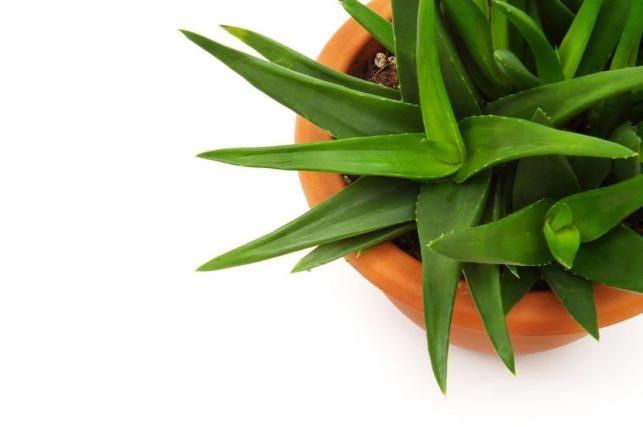 Aloe vera cserépben