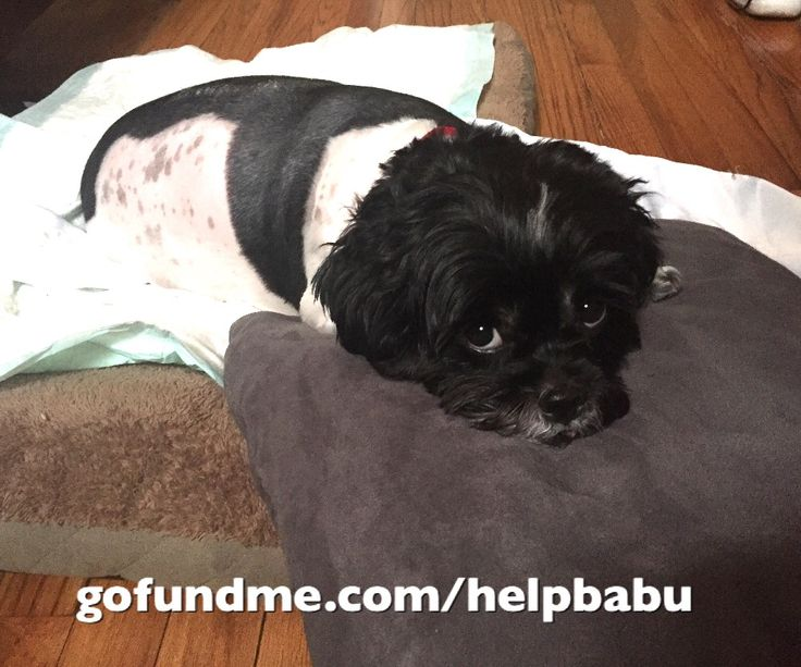 Please I ask all readers to please help me with a donation, even if it's a small donation. I need YOUR help. Please share this. I need this little one to stand up and be able to walk. This is so heartbreaking for me, for my family, and for Babu. I rescued Babu back on May 25, 2010. He was only 2...
