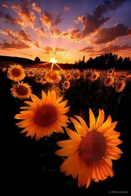 Colorful sunset nature sunflowers.