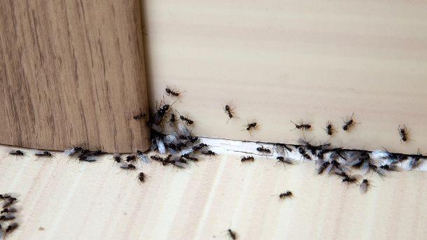 Kleine Rote Ameisen In Der Kuche Ameisen Loswerden Ameisen Im Haus