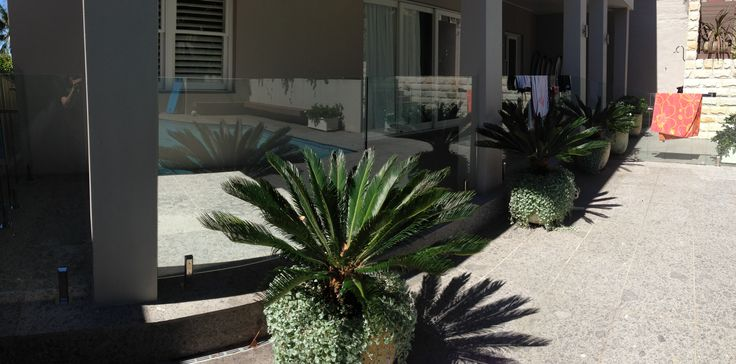 Cycad revoluta underplanted with dichondra silver falls brings life into paved area.