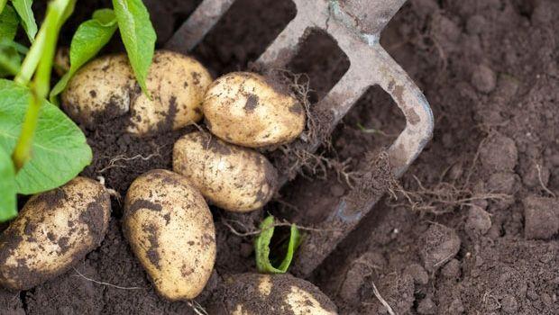 Digging up spuds | Organic Gardener Magazine Australia