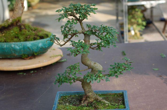 Arrosage et entretien du bonsai Orme de Chine http://www.maitre-bonsai.fr/espece/bonsai-orme-chine/