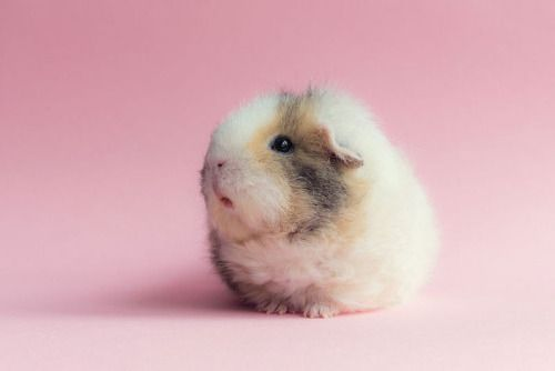 Image result for guinea pig photography                                                                                                                                                                                 More