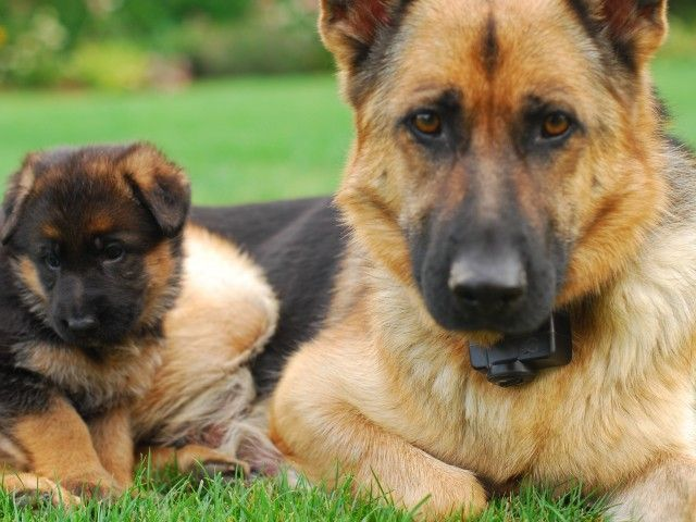 Www Cute Puppies Wallpaper Com Cutest German Shepherd Puppy Wallpaper Animals Cute