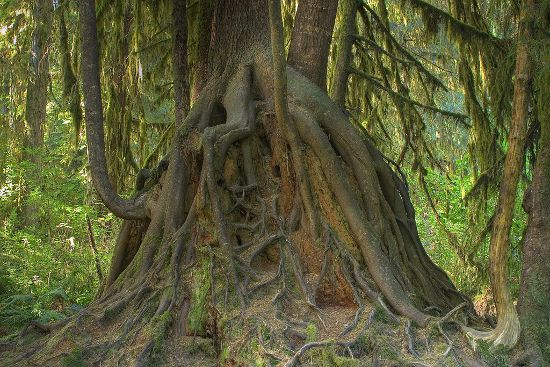 """An alien-looking Hemlock from Treehugger's slideshow of """"Avatar Trees Found on Earth"""""""