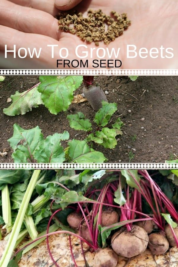 How To Grow Beets From Seed Growing Beets Organic Vegetable Garden Growing Seeds