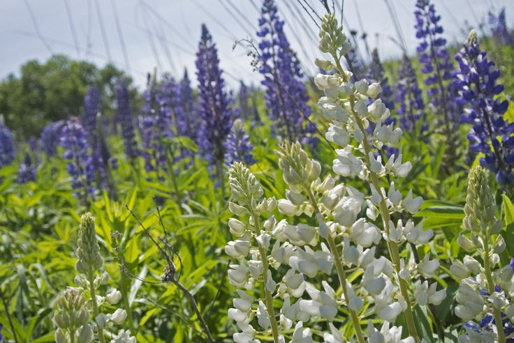Wild Lupine | Wisconsin Native Flower | Wisconsin Landscape | Unique Plants | Perennial | Plants for Impact | www.homesteaddesignswi.com