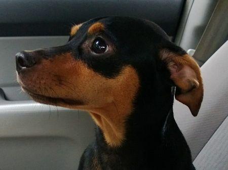 Наричат това малко храбро кученце с различни имена – мини пинчер, той пинчер, миниатюрен пинчер, но като имаме предвид, че породата е създадена в Германия, нека го наричаме с истинското му име – Zwergpinscher или пинчер джудже. Чувства се прекрасно в апа