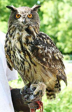 Usambara Eagle Owl